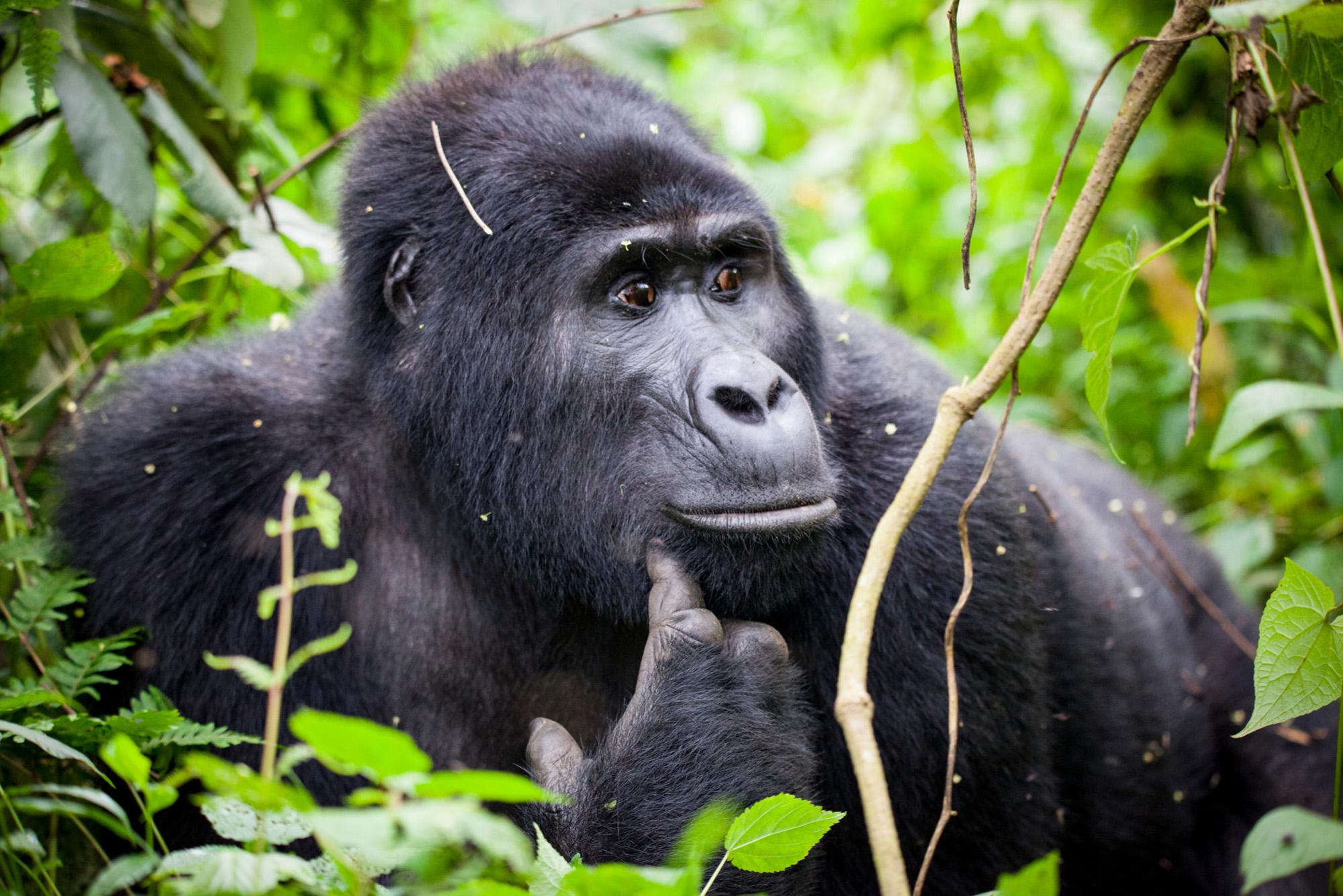 Gorilla-72 ppi