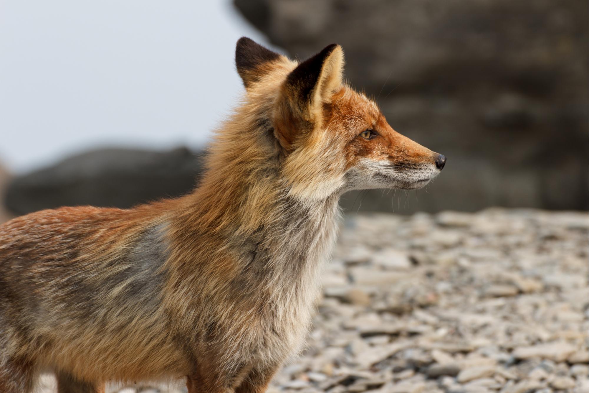 Raposa faminta, magra e trocando a pelagem na primavera durante a muda