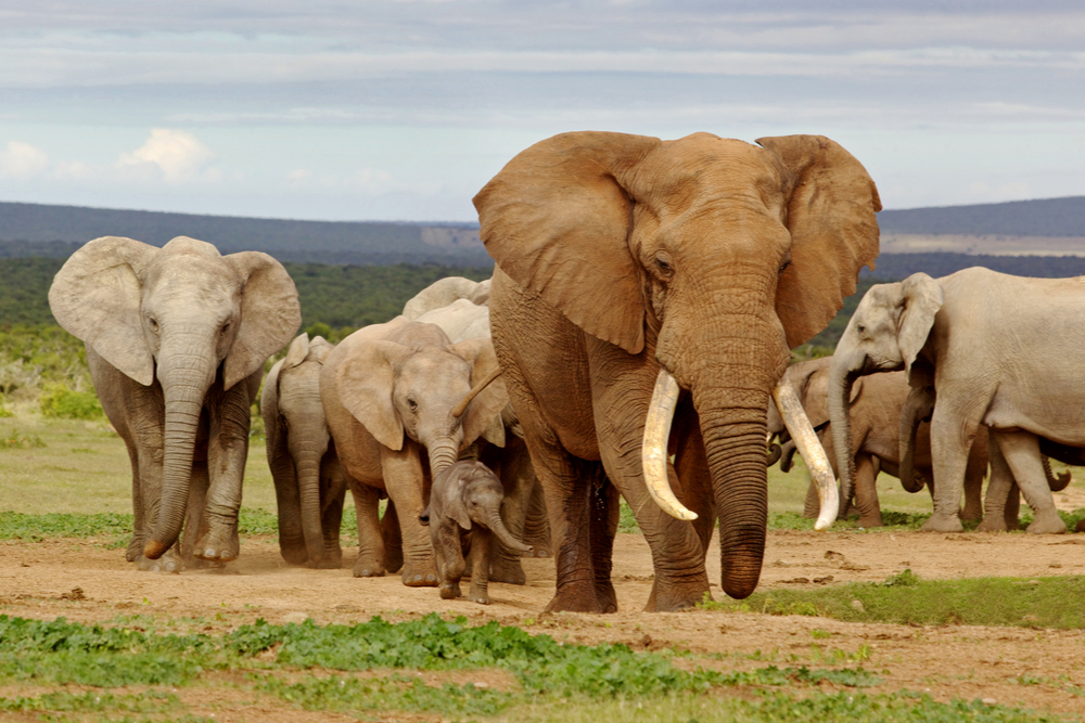 An elephant herd, led by a Magnificent bull in the National Park