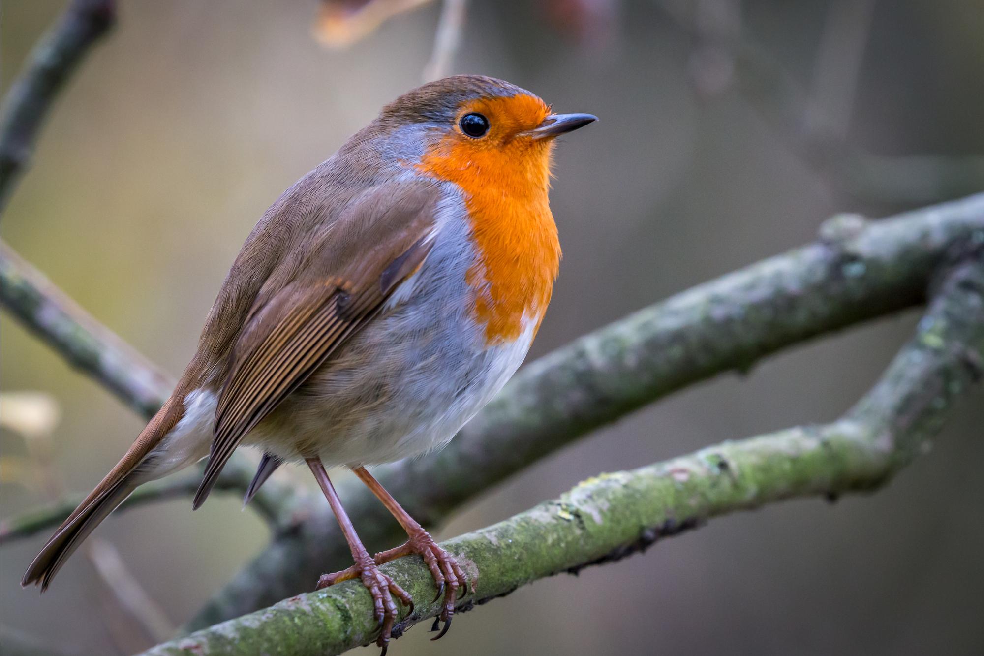 Robin des bois européen