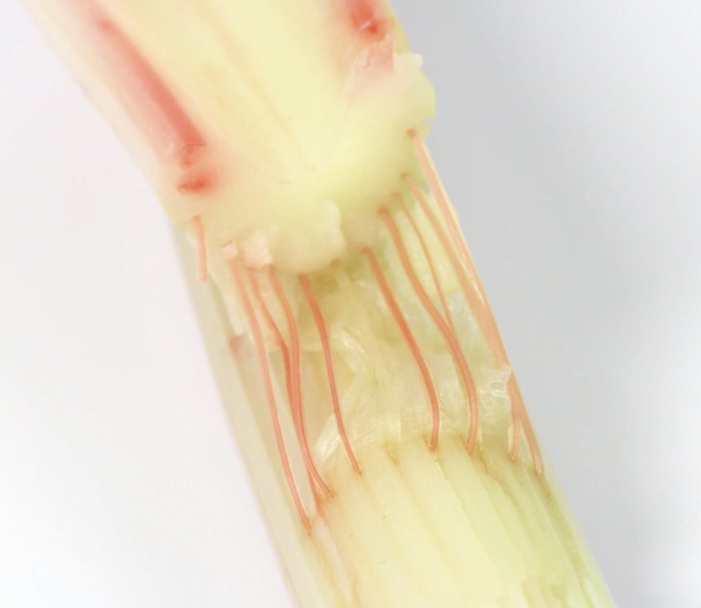 Tube-shaped cells inside the plant