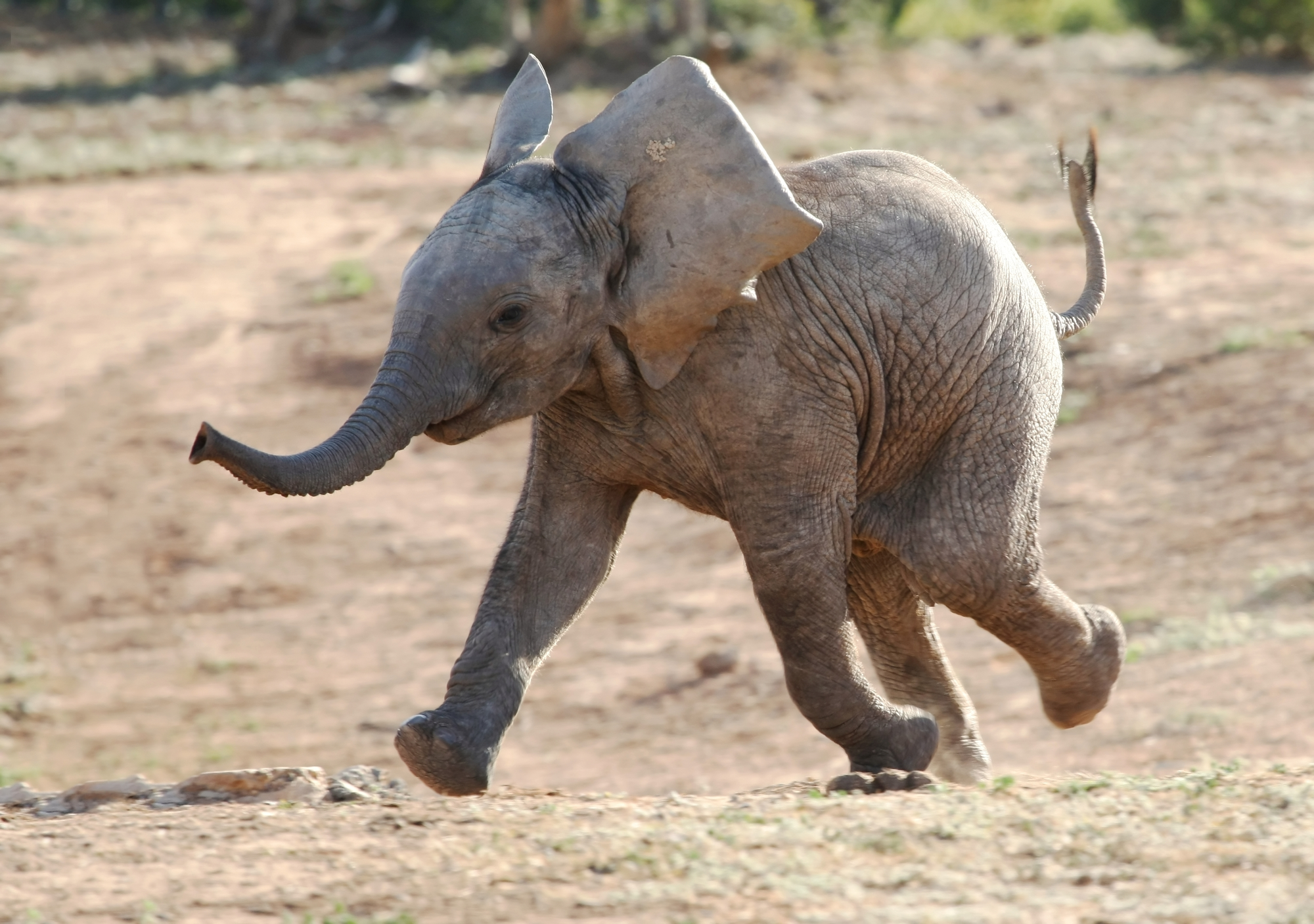 Young Elephant.
