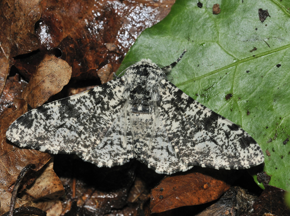 Peppered Moth - Biston betularia Light colour form
