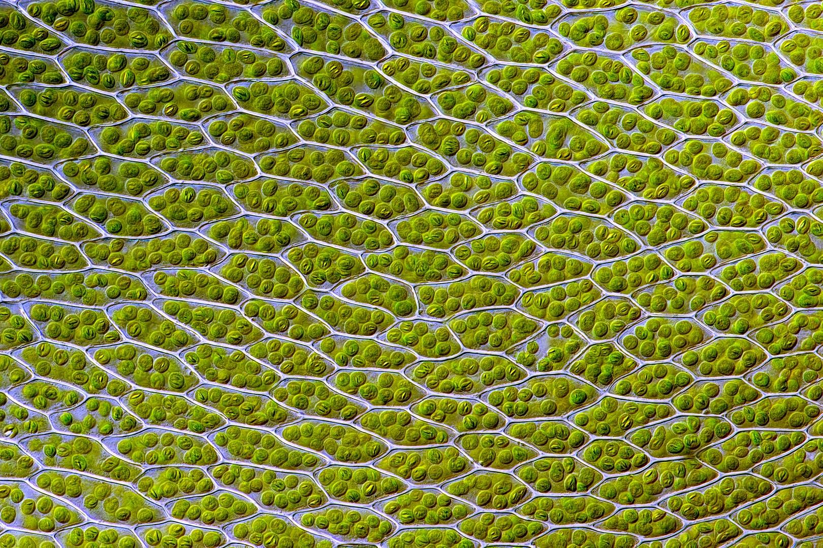 خلايا ورقة النبات