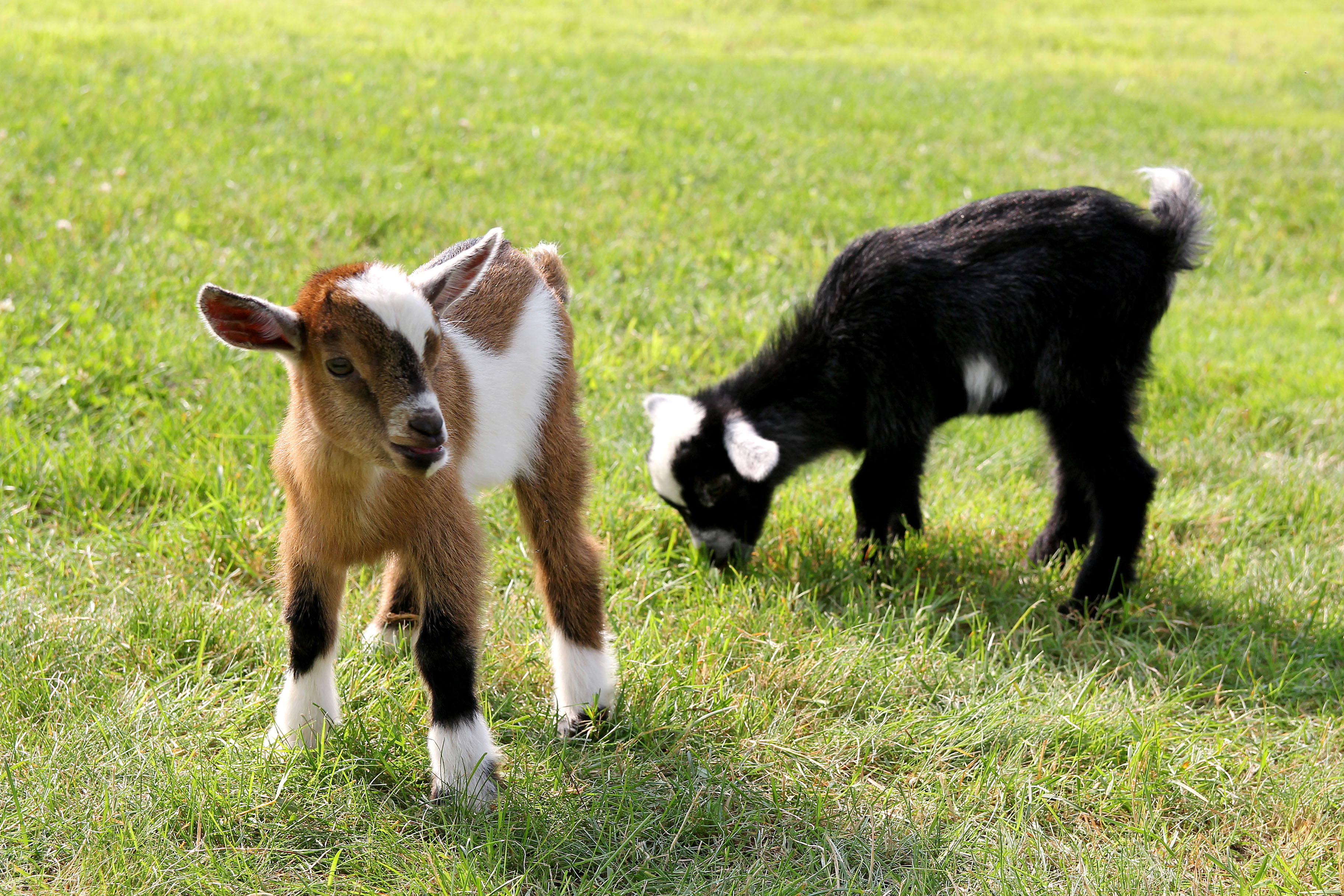 Dois bebês de cabra fofos1-editado
