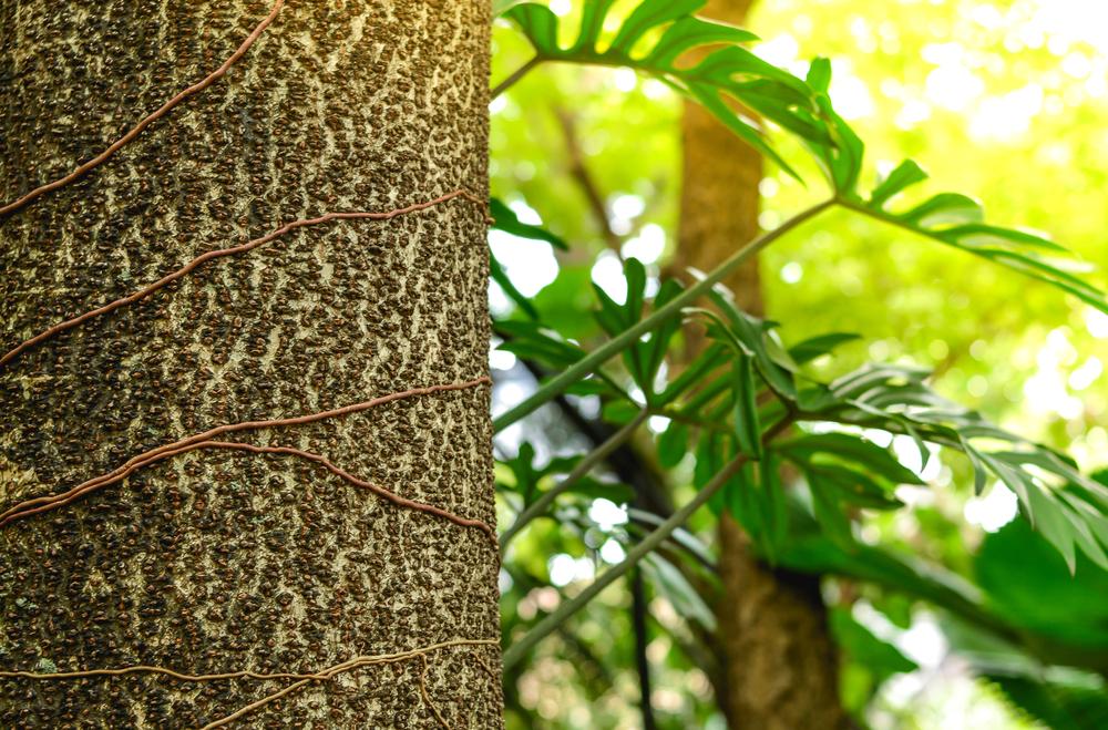Parasite plant roots around host tree
