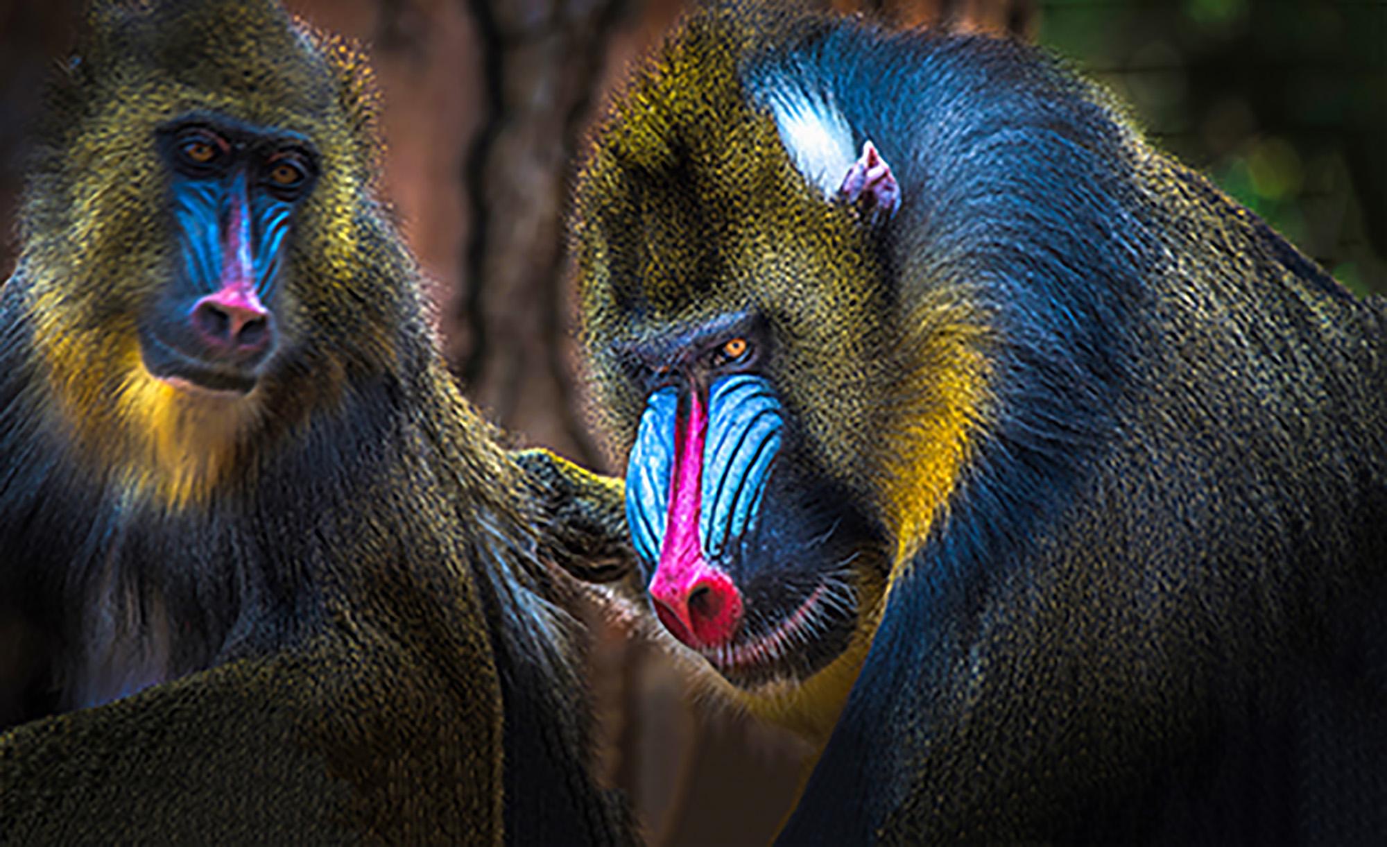 Two male mandrills