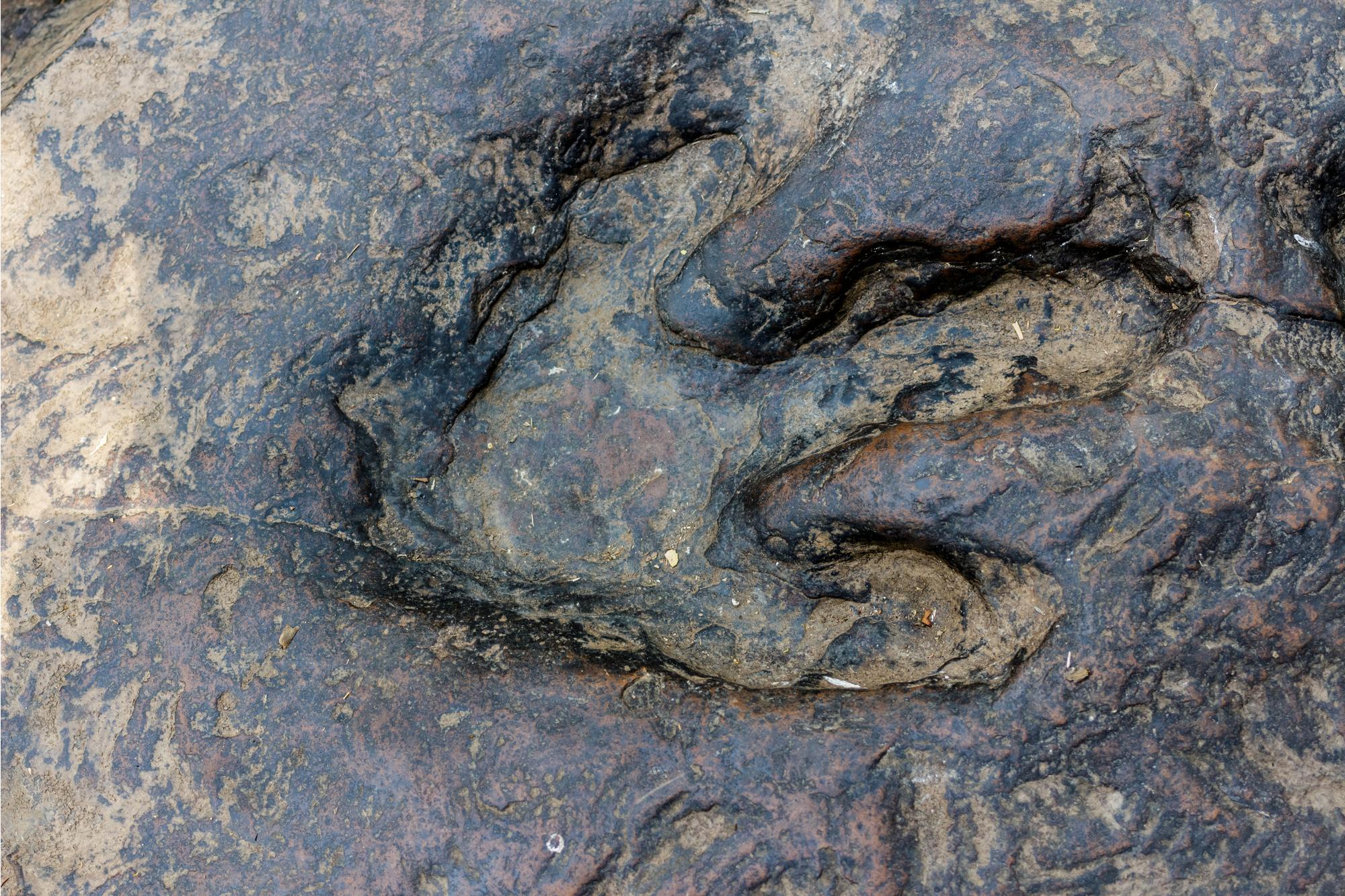 Real dinosaur footprint