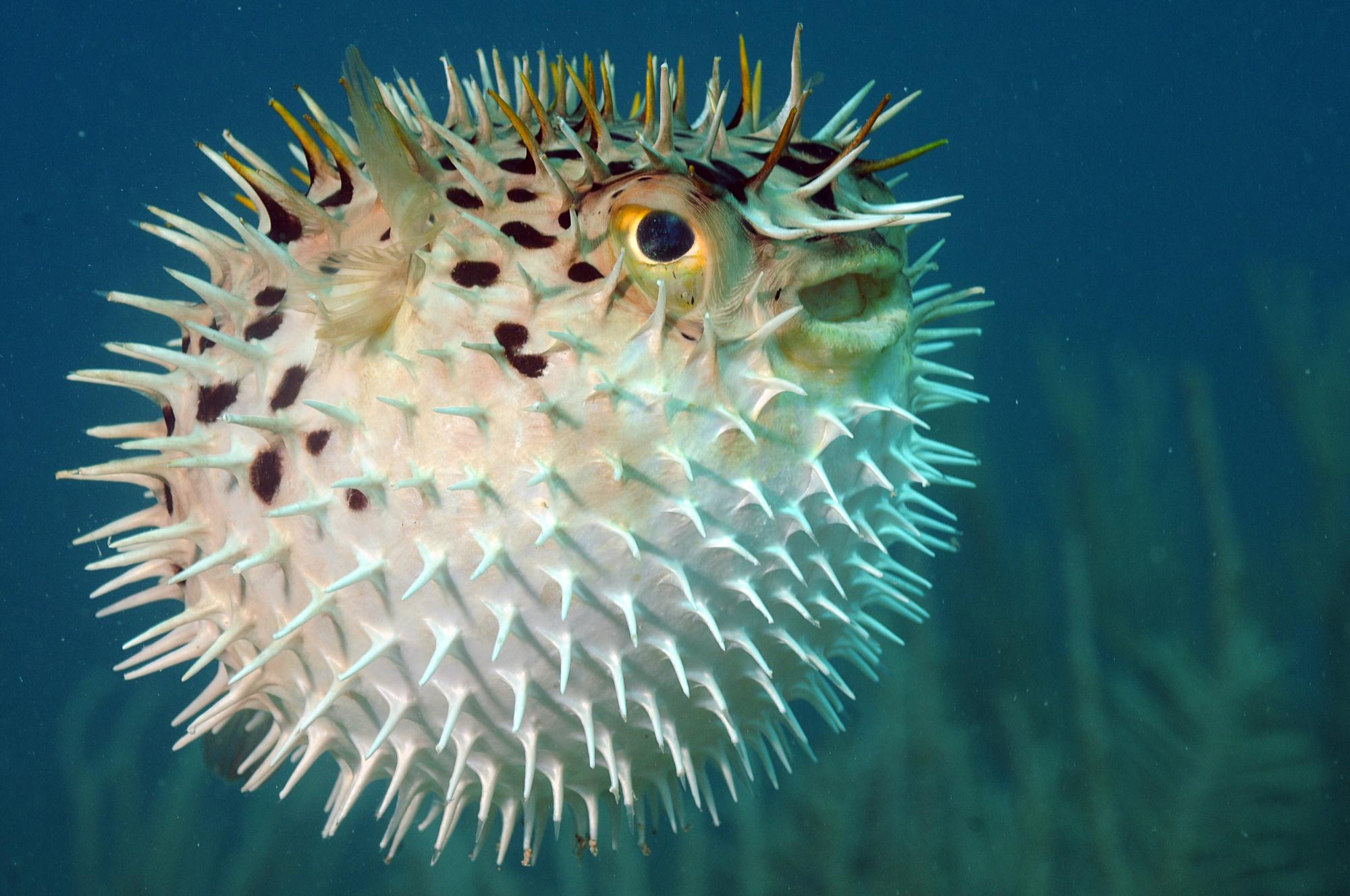 Poisson gonfleur - diodon - poisson-globe - 72ppi