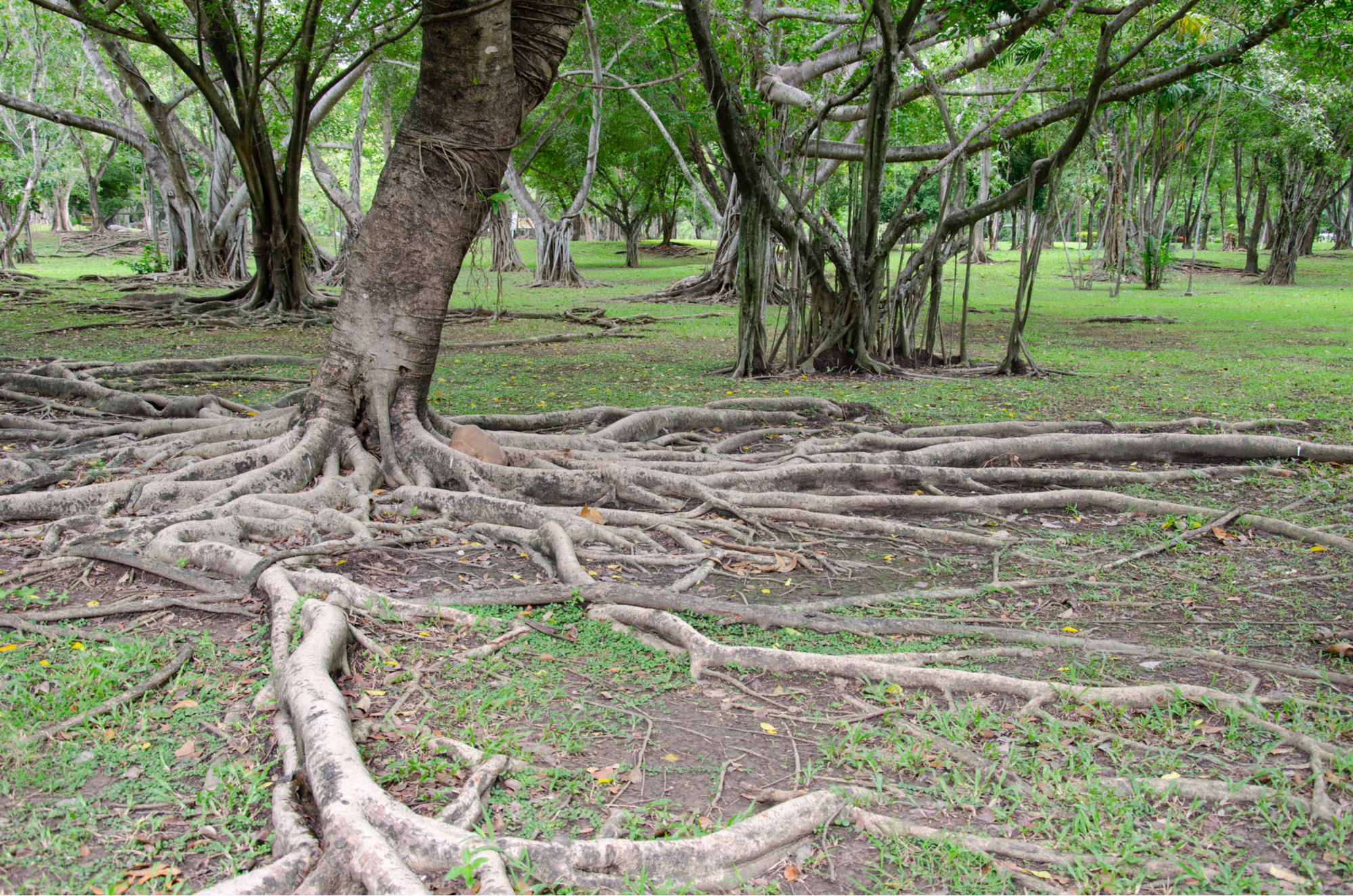 Tree roots In the park-72ppl