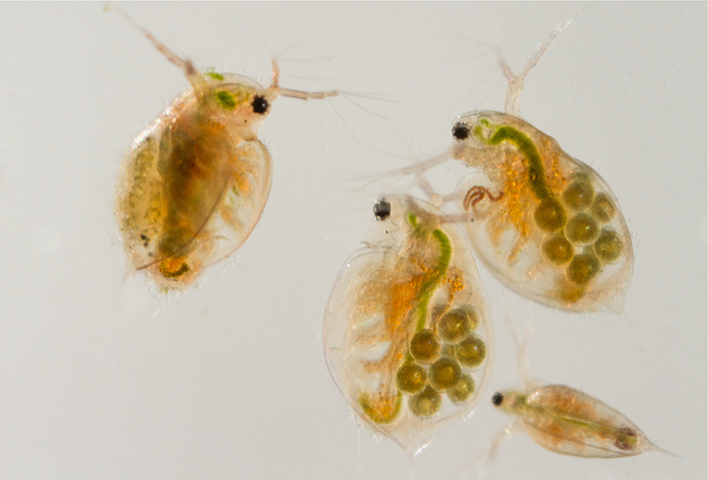 Daphnia water fleas from the pond