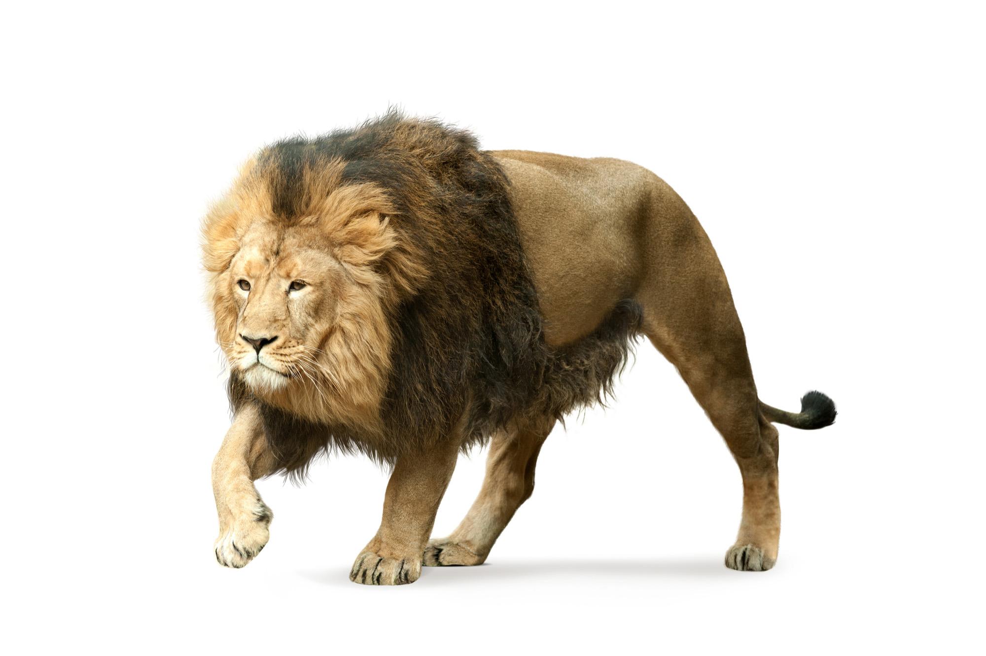 Lion-72 ppi
