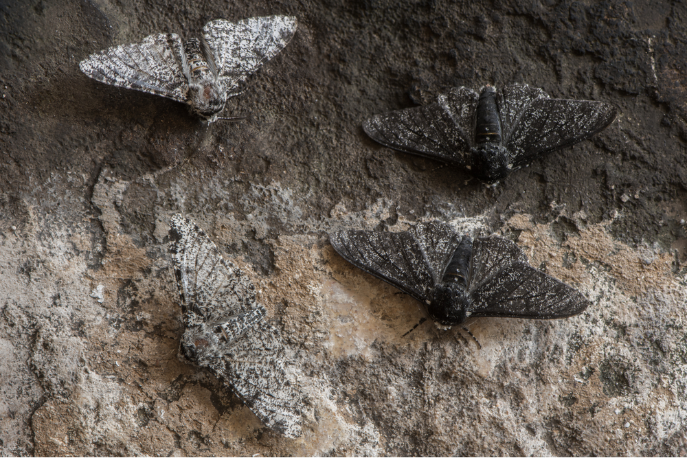 Moths in the family Geometridae showing relative camouflage of f. cabonaria