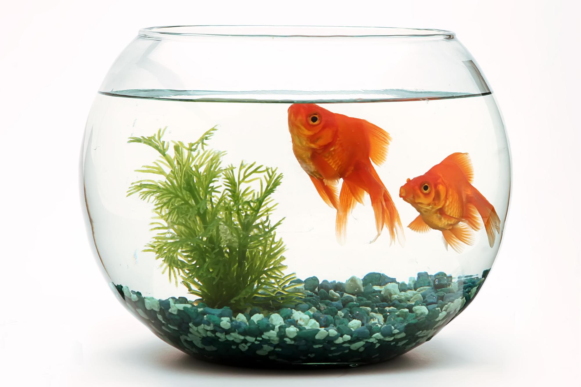 حوض بداخله سمك ذهبي