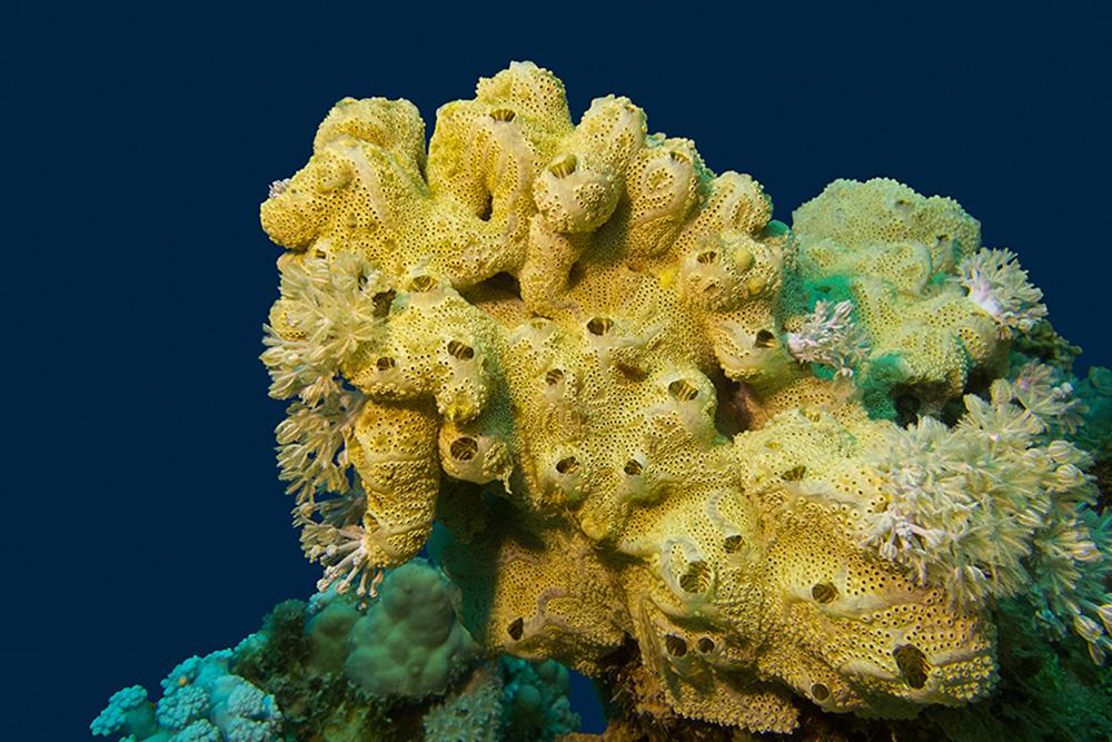 الشُّعَب المرجانية مع إسفنج البحر الأصفر الرائع