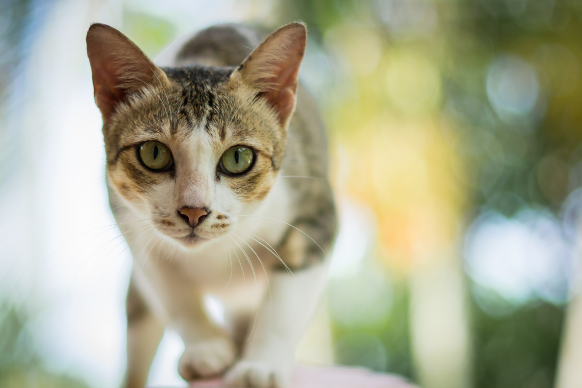 Gato tailandês-72ppi
