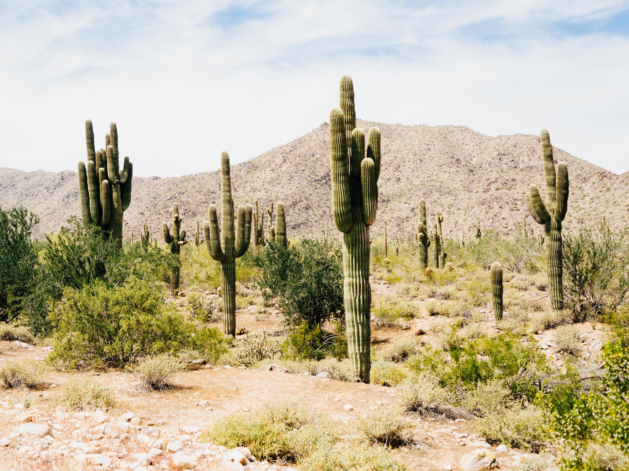 Cacto Saguaro no Arizona