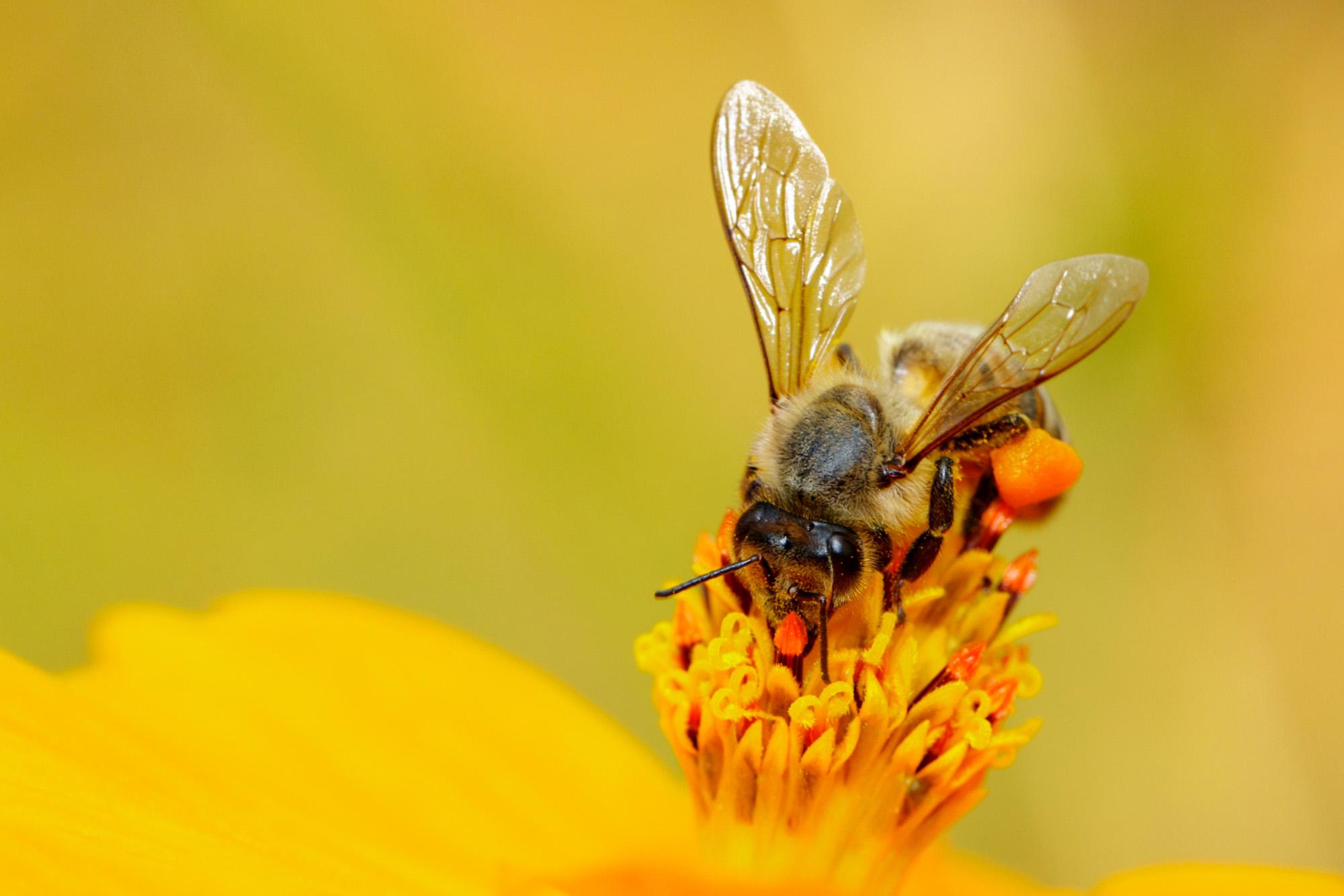 Golden honeybee-72 ppi