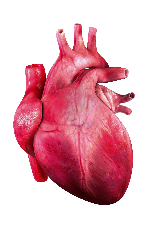 Heart organ  72 dpi