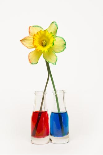 Daffodil with a split stem