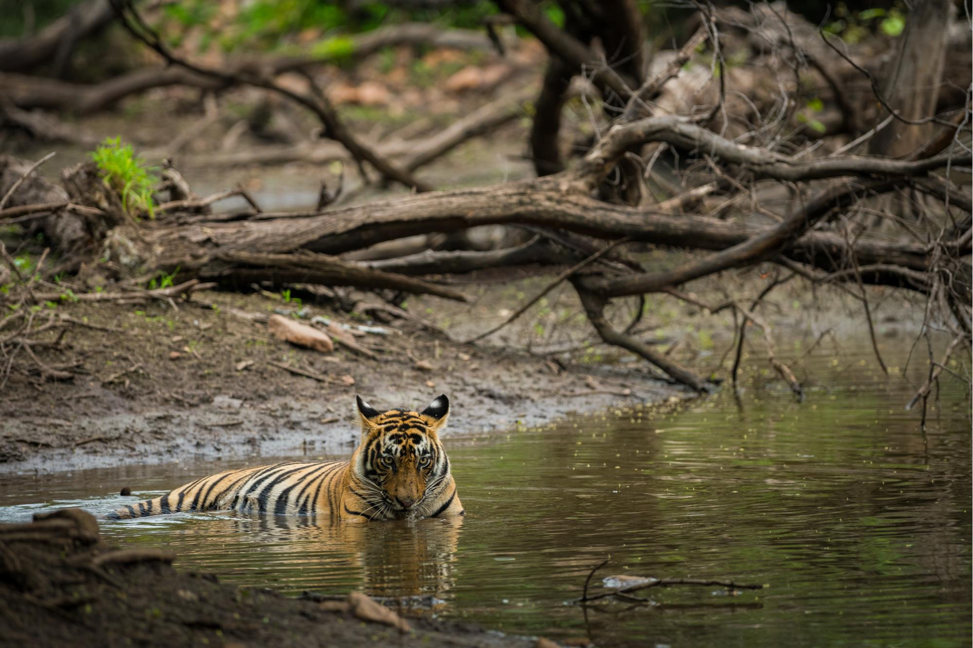 Um tigre de bengala (panthera tigris)