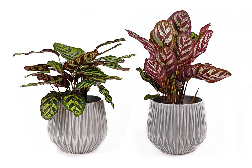 نبات كالاثيا ماكويانا