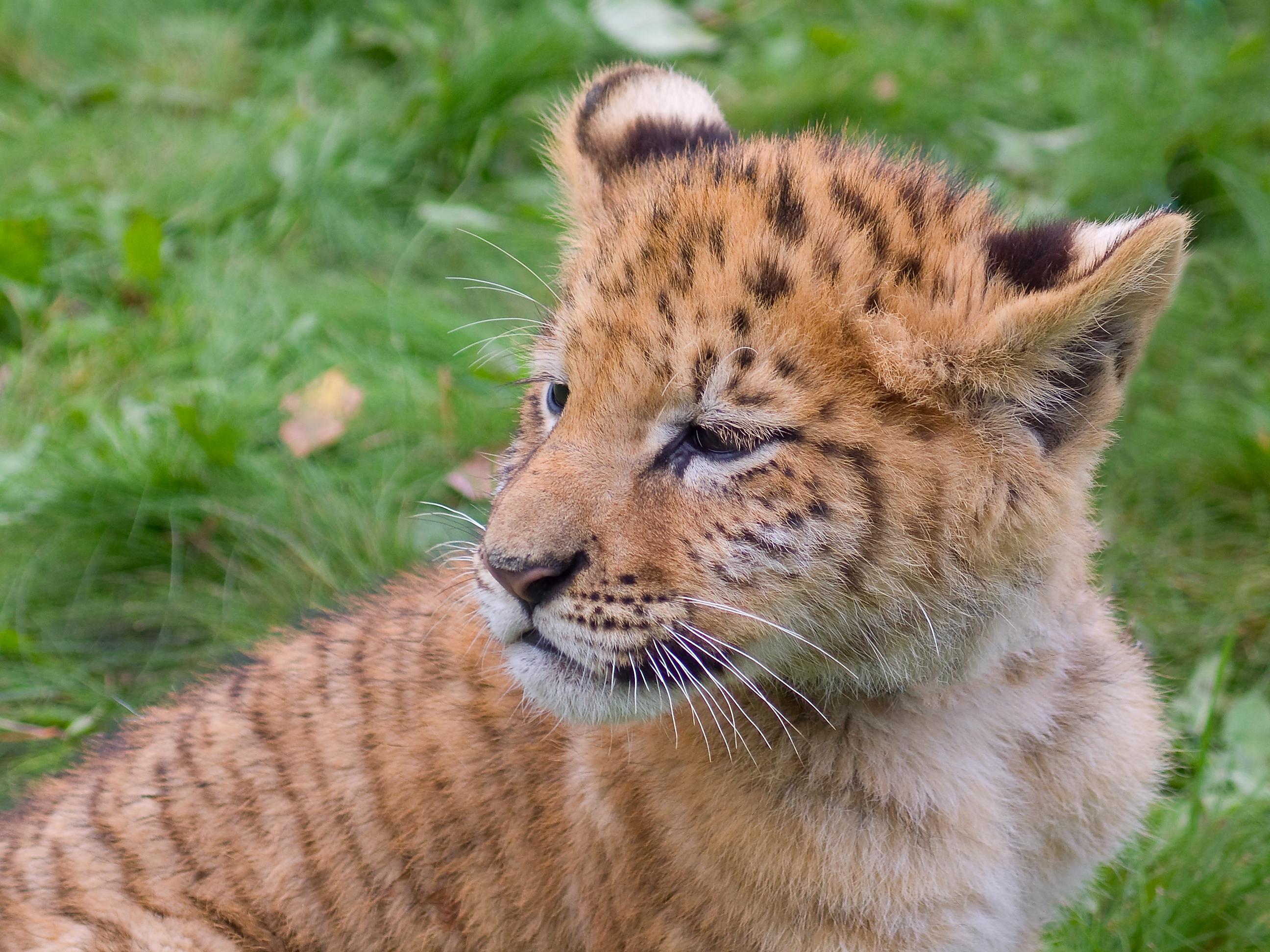 Incrível filhote de tigre jovem sentado na grama e olhando para longe
