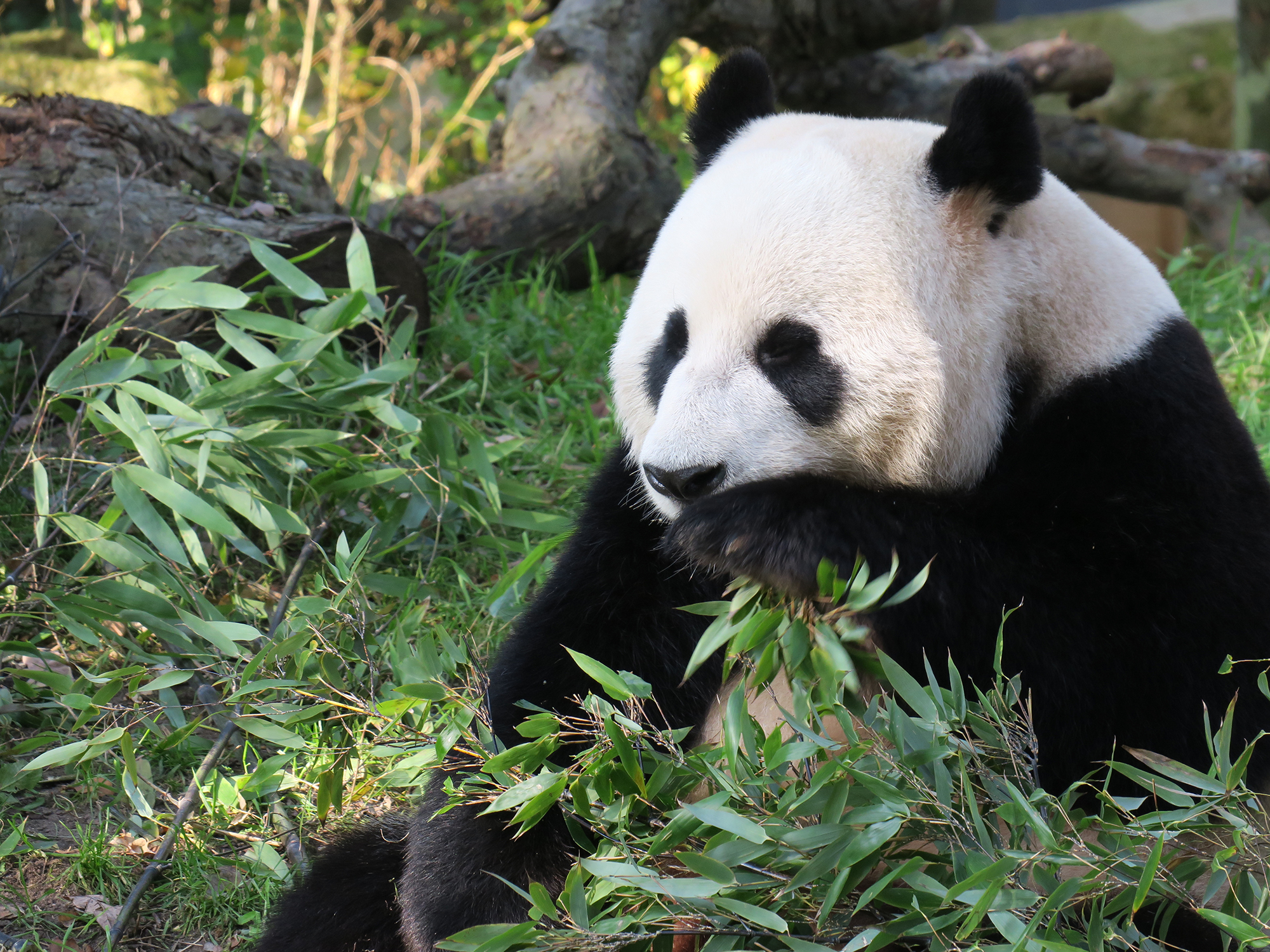 Panda surrounded by bamboo plants